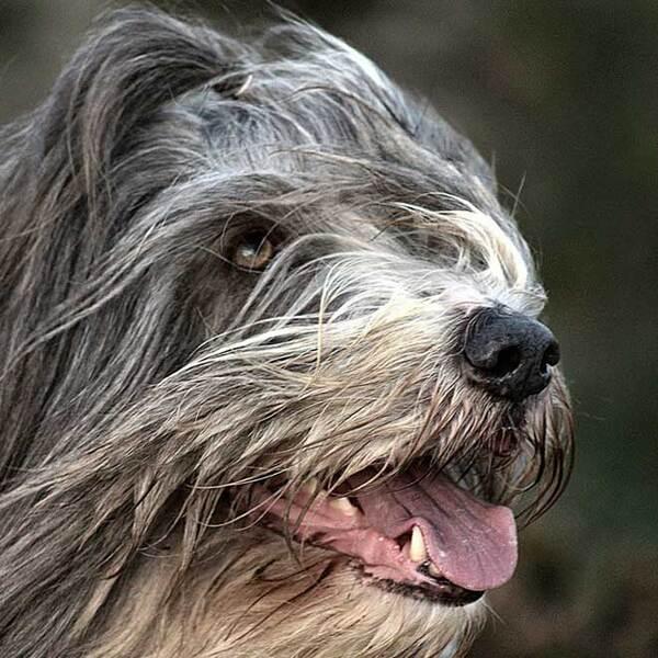 Races de chiens:  Bearded collie