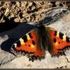 Papillon Vanesse Du Chardon ou petite tortue.jpg