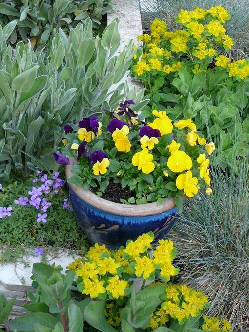 Viola cornuta & Euphorbes polychromes