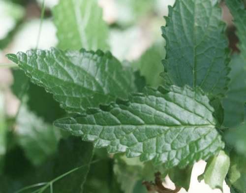 Vertus médicinales des plantes sauvages : Mélitte