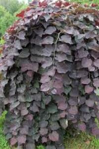 cercis pendula Ruby Falls chez Jeunes plants.fr
