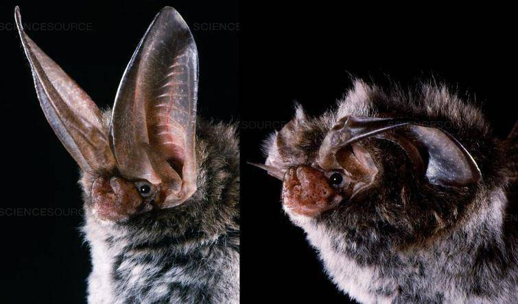 Here's how some eared bats have ears that almost resemble wings.