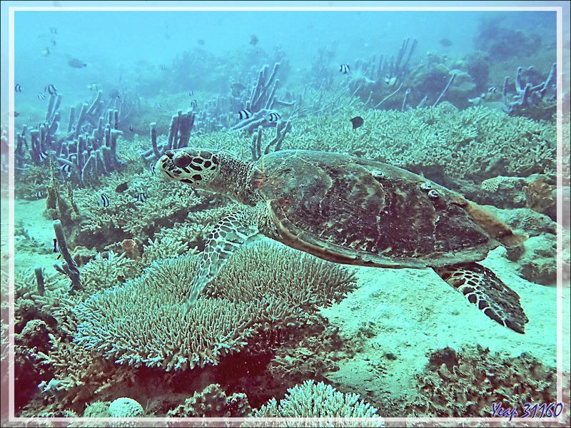 Tortue imbriquée ou à écailles, Hawksbill sea turtle (Eretmochelys imbricata) - Spot Sugar Man - Tsarabanjina - Mitsio - Madagascar