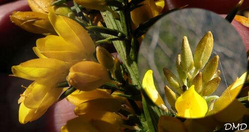Ulex parviflorus  -  ajonc de Provence