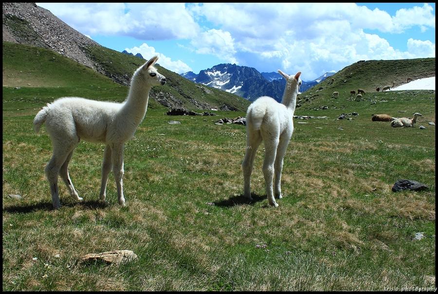 le lama des Pyrénées
