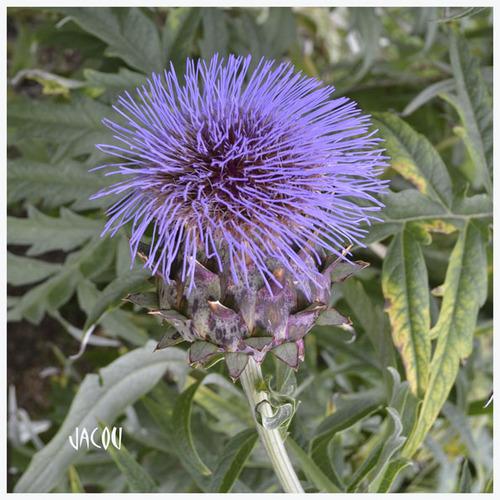 - L'artichaut, fleur méconnue
