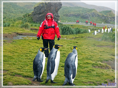 """Manchots royaux et """"pingouine rouge"""" - Whistle Cove - Fortuna Bay - Géorgie du Sud"""