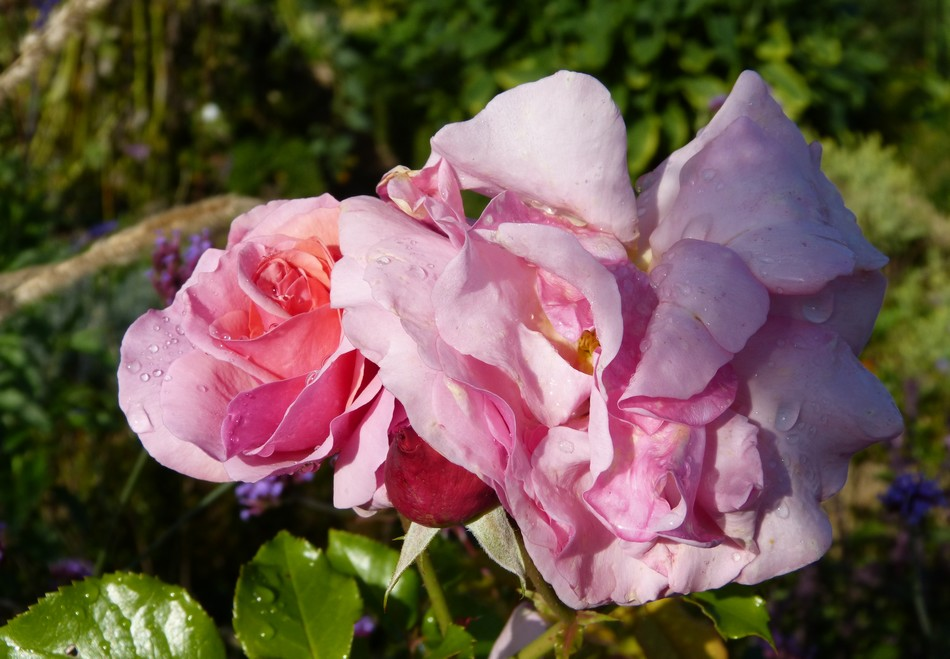 Une Dame en rose