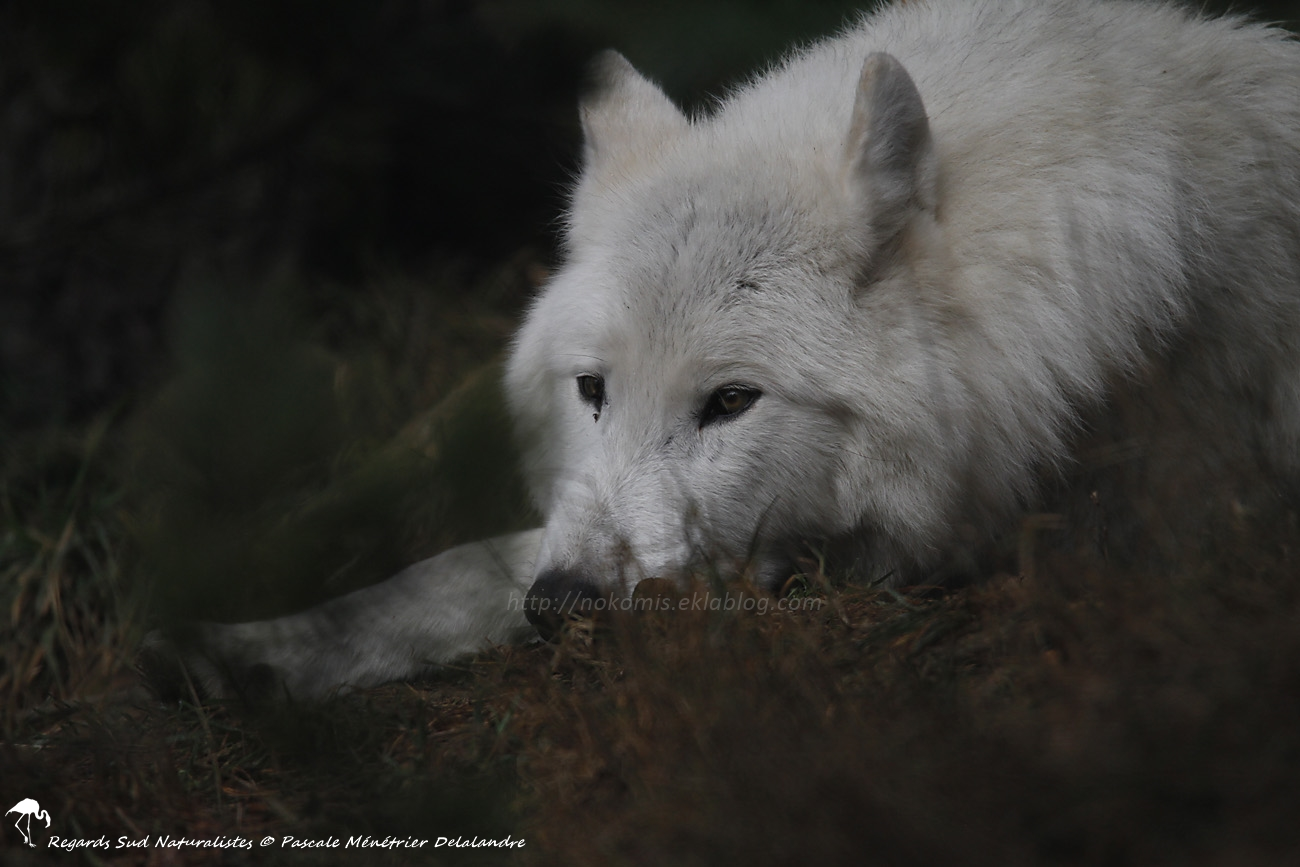 Loup du Mackenzie ( Canis lupus machenzii)