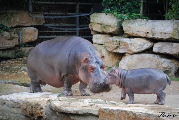 Hippopotames Amneville (10)