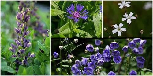 Fleurs cultivées