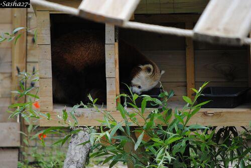 Le Panda Roux ♀.