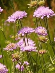 Scabieuse des champs fleurs