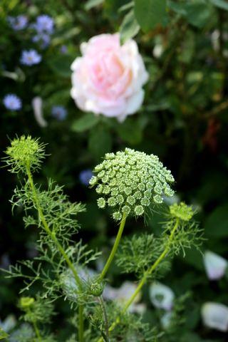 Des compagnes pour mes roses : Ammi majus et Ammi visnaga