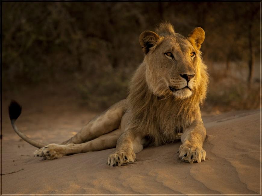Les félins de l'extrême (partie1) le Lion
