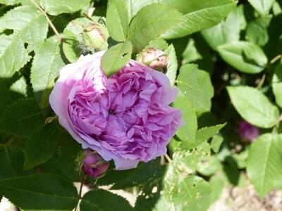 club de mes cinq roses parfumées