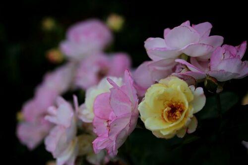 Les Roses de Warren : Life Force