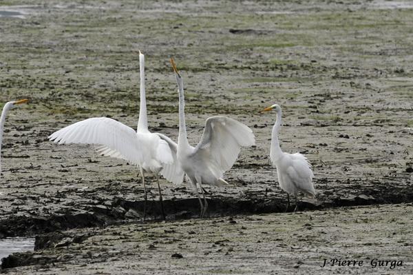 Jean-Pierre Gurga a photographié les oiseaux du lac de Marcenay, quinze jours avant la vidange du lac...