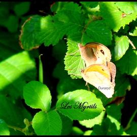 Myrtil ou Maniola Jurtina (mâle et femelle) - Le mâle qui se trouve au dessus de la femelle est pl