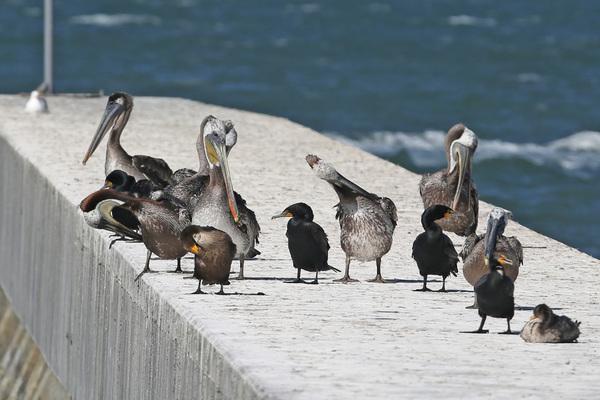 Pelican et Cormoran - San Francisco