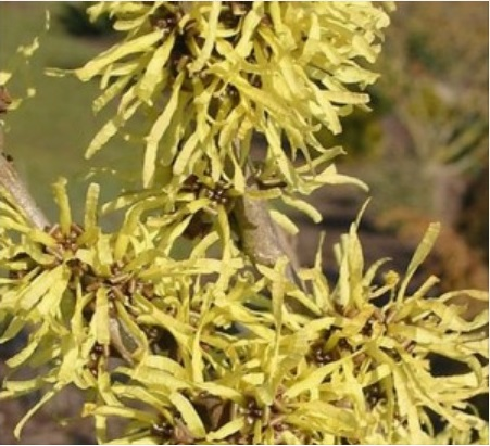 Hamamélis (fleurs)
