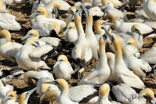 Cape gannet colony at bird Island (Lamberts Bay)