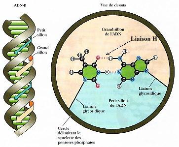 Mécanismes connus d'Interaction entre Rayonnement et Tissu vivant