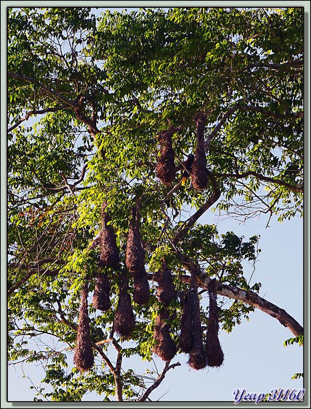 Blog de images-du-pays-des-ours : Images du Pays des Ours (et d'ailleurs ...), Cassique de Montezuma ou Oropendola de Montezuma (Psarocolius montezuma)  -Tortuguero - Costa Rica