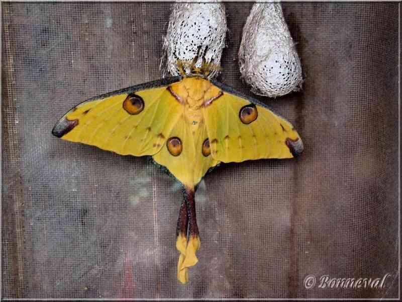 Papillons tropicaux Argema mittrei et pupes