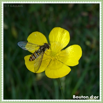 Bouton d or