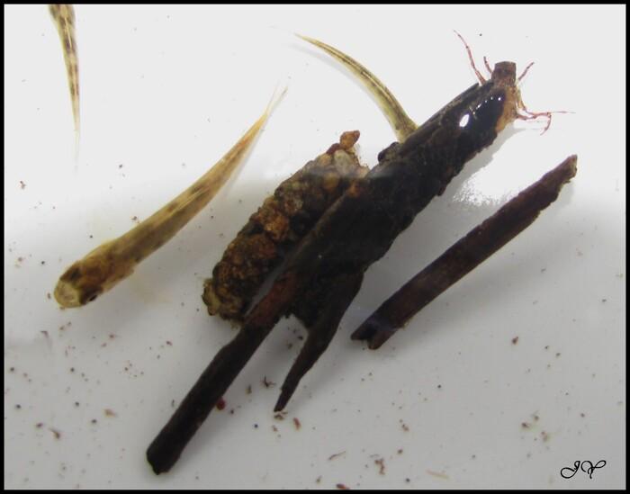 Larves de Trichoptères dans la rivière.