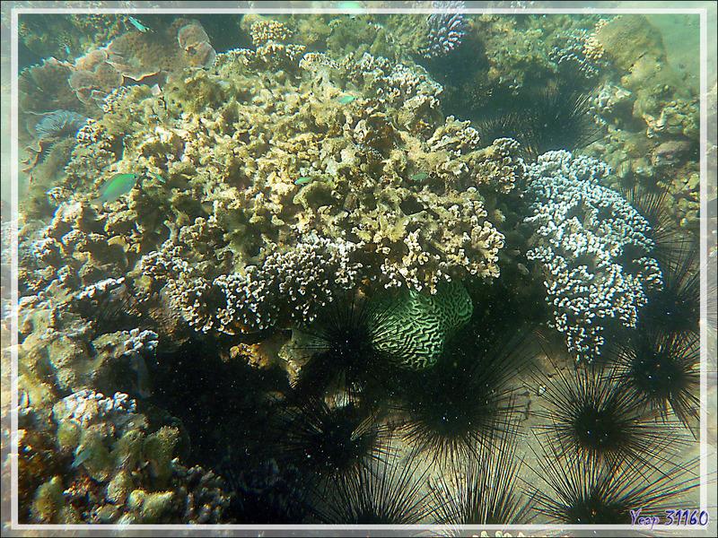 Impossible de m'approcher de ce beau corail-cerveau vert à cause des oursins-diadèmes - Nosy Sakatia - Madagascar