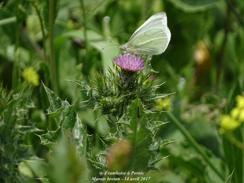 Papillon pierride du lotier