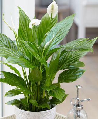 Achetez maintenant une plante d'intérieur Spathiphyllum ...