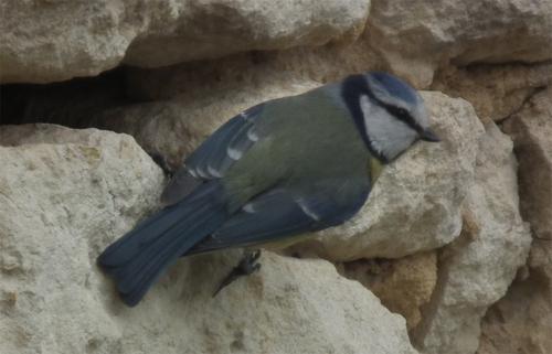Mésange bleue - Parus caeruleus