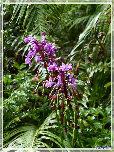 Orchidée-palmier terrestre (Spathoglottis plicata) - Raiatea - Polynésie française