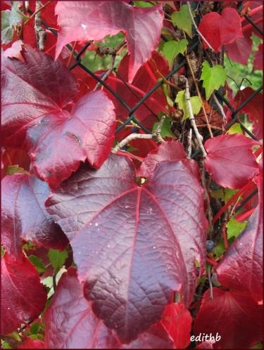 feuilles rouges (3)