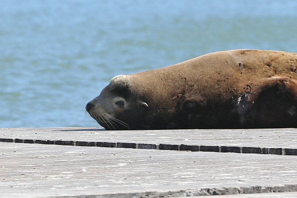 Les Lions de mer du Pier 39