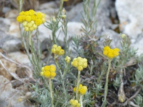 Fleurs de la Candolle