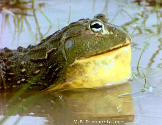 Amphibiens:  Des crapauds qui explosent