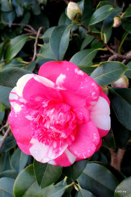Des fleurs du camélia dans mon jardin