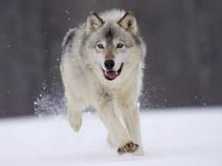 petit loup...