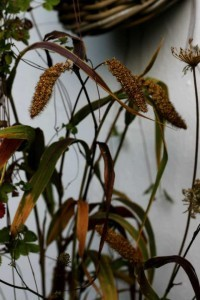 Setaria Red Jewel