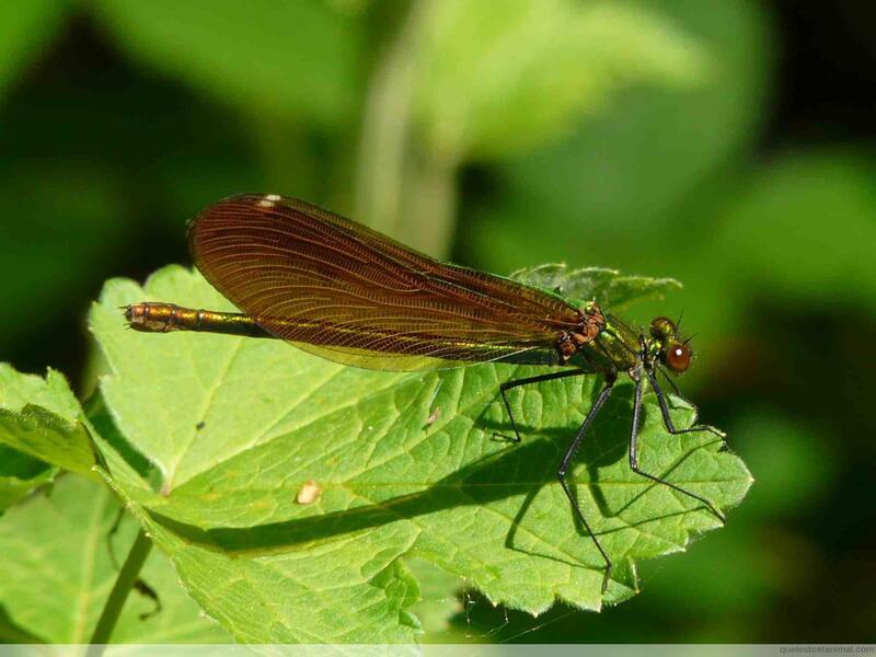 La demoiselle Caloptéryx vierge