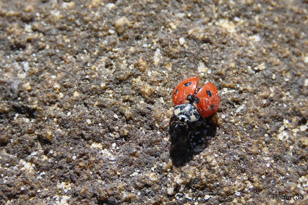 des scarabées ou ?