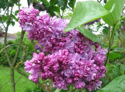 Mes-fleurs-et-le-potager-3025.JPG