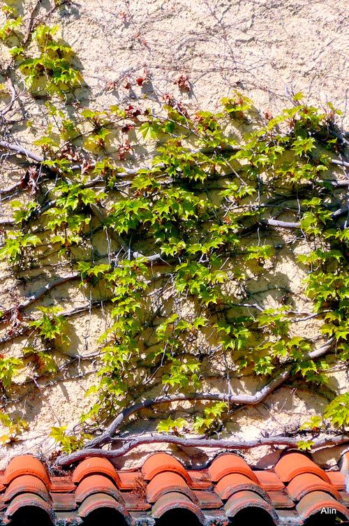 Le mur et la vigne vierge