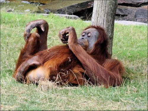 Photo d'Orang Outan - Zoo de la Boissière du Doré