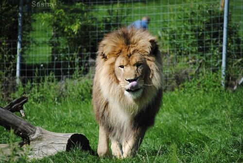 (5) Ramsès, le lion.