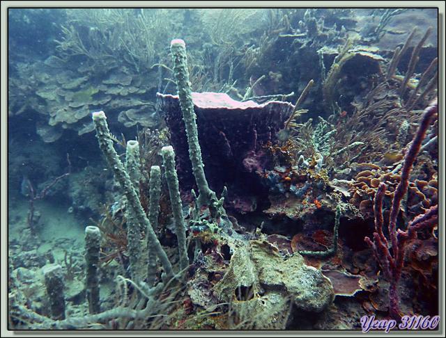 Blog de images-du-pays-des-ours : Images du Pays des Ours (et d'ailleurs ...), Plongée à Isla Bastimentos, Panama: Eponges en forme de vase
